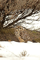 A Short Eared Owl huddles under a sagebrush branch waiting out an early season rain storm.