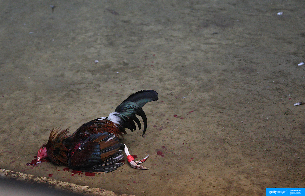 THE PHILIPPINES (Manila). 2009. A game cock lies dead after a fatal blow, delivered by it's competitor during a fight to the death between two game cocks, each with three inch razor sharp blades attached to their left ankles at the Makati Coliseum,  Makati City, Manila. Photo Tim Clayton <br /> <br /> Cockfighting, or Sabong as it is know in the Philippines is big business, a multi billion dollar industry, overshadowing Basketball as the number one sport in the country. It is estimated over 5 million Roosters will fight in the smalltime pits and full-blown arenas in a calendar year. TV stations are devoted to the sport where fights can be seen every night of the week while The Philippine economy benefits by more than $1 billion a year from breeding farms employment, selling feed and drugs and of course betting on the fights...As one of the worlds oldest spectator sports dating back 6000 years in Persia (now Iran) and first mentioned in fourth century Greek Texts. It is still practiced in many countries today, particularly in south and Central America and parts of Asia. Cockfighting is now illegal in the USA after Louisiana becoming the final state to outlaw cockfighting in August this year. This has led to an influx of American breeders into the Philippines with these breeders supplying most of the best fighting cocks, with prices for quality blood lines selling from PHP 8000 pesos (US $160) to as high as PHP 120,000 Pesos (US $2400)..