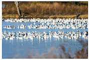 Wildlife birding photographs of Snow Geese (Chen caerulescens)