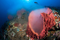 "A ""male"" Barrel Sponge releases a cloud of sperm into the water column during a mass spawning event...Shot in Indonesia.."