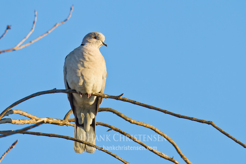 A eurasian collared dove perches on a thin tree branch