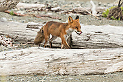 A red fox adult walks over a driftwood log along the beach at the McNeil River State Game Sanctuary on the Kenai Peninsula, Alaska. The remote site is accessed only with a special permit and is the world's largest seasonal population of brown bears in their natural environment.