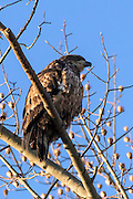 Juvenile Bald Eagle -  Haliaetus leucophalus sitting on a branch