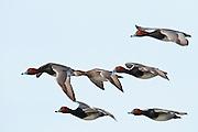 Redhead, Aythya americana, flock, courtship flight, Saginaw Bay, Michigan
