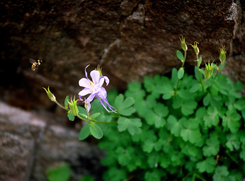 A bee flies to a Columbine flower in the Colorado mountains