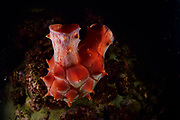 The Common Sea Squirt or Hoya (海鞘 in Japanese) is a tunicate a marine invertebrate animal. Toyama Bay, Namerikawa, Japan | Seescheiden (Ascidiae oder Ascidiacea) sind sessile Manteltiere. Toyama-Bucht, Namerikawa, Japan