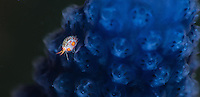 A tiny amphipod on a soft coral sponge. Komodo, Indonesia
