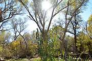 An invasive species of grass grows at the base of  canopy of trees in a riparian area that covers the Anza Trail along the Santa Cruz River, Tubac, Arizona, USA. The Santa Cruz River is partially fed with reclaimed water.
