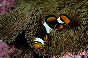Percula clownfish, Amphiprion percula.