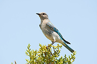 An immature Pinyon Jay perched on top of a conifer tree while the rest of the flock feeds on the ground below.
