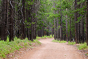 A dirt road winds through a forest of pine trees. Missoula Photographer, Missoula Photographers, Montana Pictures, Montana Photos, Photos of Montana