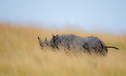 Black rhino (Diceros bicornis) on the savannah of Maasai Mara, Kenya.