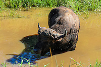 A lone African buffalo in the Hluhluwe-Umfolozi Game Reserve, South Africa.