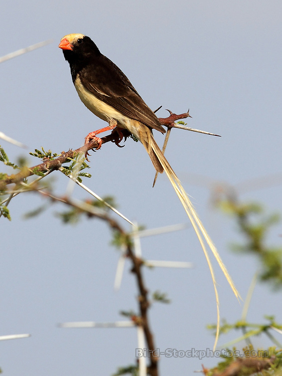 Straw-tailed Whydah, (Straw-colored Whydah), Vidua fischeri, Sarara, Kenya, by Jonathan Rossouw