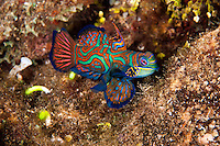 Male Mandarinfish in full courting display<br /> <br /> shot in Indonesia