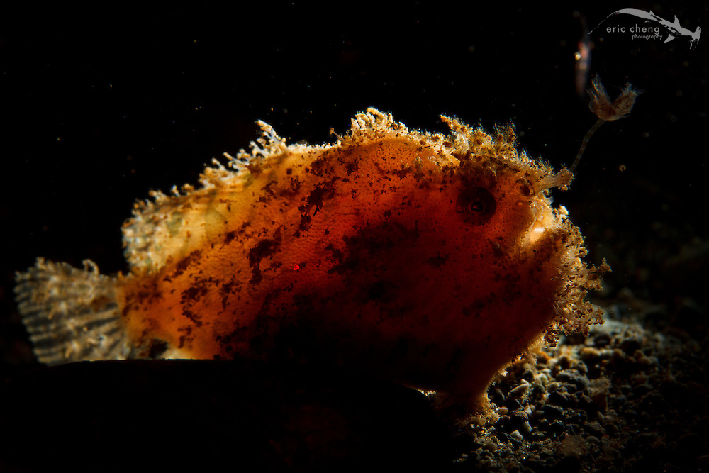 Striped frogfish or striated frogfish (Antennarius striatus) in the shallows at Laha, Ambon, Maluku, Indonesia.