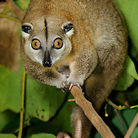 The Ornate Cuscus (Phalanger ornatus) is endemic to Halmahera and a few offshore islands including Morotai and Bacan. Like other Phalangerids it is nocturnal and feeds primarily on fruit and leaves. North Maluku, Indonesia.