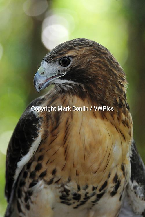 Red-tailed hawk, Buteo jamaicensis, Florida, captive