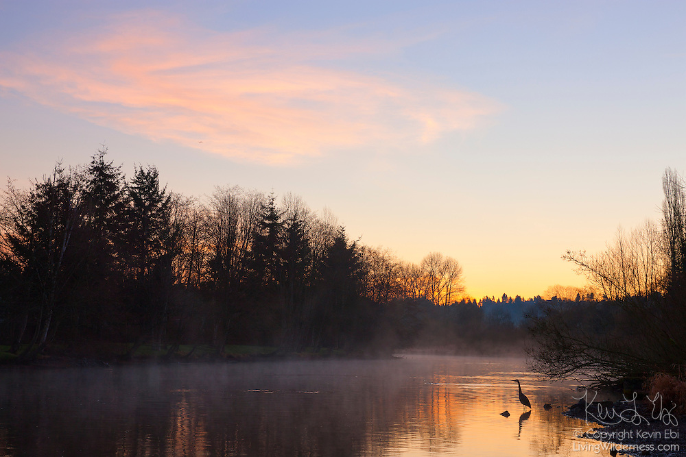 A great blue heron hunts for fish in the Sammamish River in Kenmore, Washington, at sunrise.