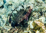 "Calotomus carolinus, or Starry-eye Parrotfish / Star-eye Parrotfish / Carolines Parrotfish in Kealakekua Bay, Big Island, Hawaii, USA. Hawaiians call various species of parrotfish ""uhu."" We kayaked on a Kona Boys tour to the Captain Cook Monument in Kealakekua Bay State Historical Park starting from Napoopoo Pier, on the Kona Coast of the Big Island. With one of the most pristine coral reefs for snorkeling in the state, Kealakekua Bay is protected as a State Marine Life Conservation District (MLCD). British Captain James Cook was the first European to reach the Hawaiian islands (in January 1778 at Waimea harbour on Kauai), and he named the archipelago the ""Sandwich Islands."" During his second voyage to the Hawaiian Islands, Captain Cook arrived at Kealakekua Bay in 1779. Thought by the natives to be a god, due to his arrival during a celebration and time of peace for Lono, Cook was treated royally. But the following month he was killed in a skirmish on the shores of Ka'awaloa Cove following a series of incidents between his crew and the Hawaiians. In 1874, the 27-foot monument was erected nearby in Cook's honor by his countrymen. On the lava flats behind Cook Monument are the ruins of the ancient village of Ka'awaloa."