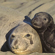 Northern Elephant Seal, (Mirounga angustirostris)  Portrait of mother and baby on beach. California.