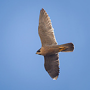 Peregrine falcon in flight overhead, © 2011 David A. Ponton
