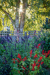 Border with Salvia 'Amistad' and Salvia splendens in evening light