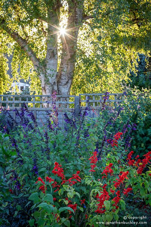 Border with Salvia 'Amistad' and Salvia splendens in evening light