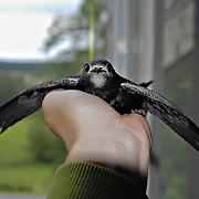 De sista dagarna vill Gaphals helst ha vingarna utsträckta hela tiden. Flygfärdig!