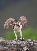 Osprey (Pandion haliaetus) with fish, Cairngorms National Park, Scotland.