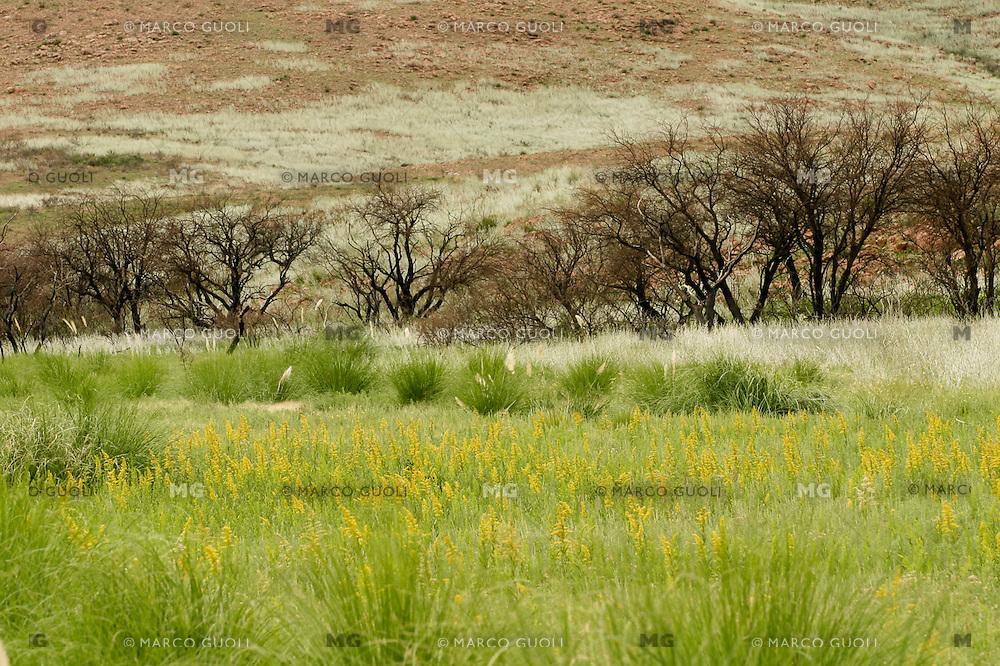CALDENES  (Prosopis caldenia) QUEMADOS, FLORES DE HELIOTROPIUM AMPLEXICAULE Y HOJAS DE OLIVILLO (Hyalis argentea), PARQUE NACIONAL LIHUE CALEL, PROV. DE LA PAMPA, ARGENTINA