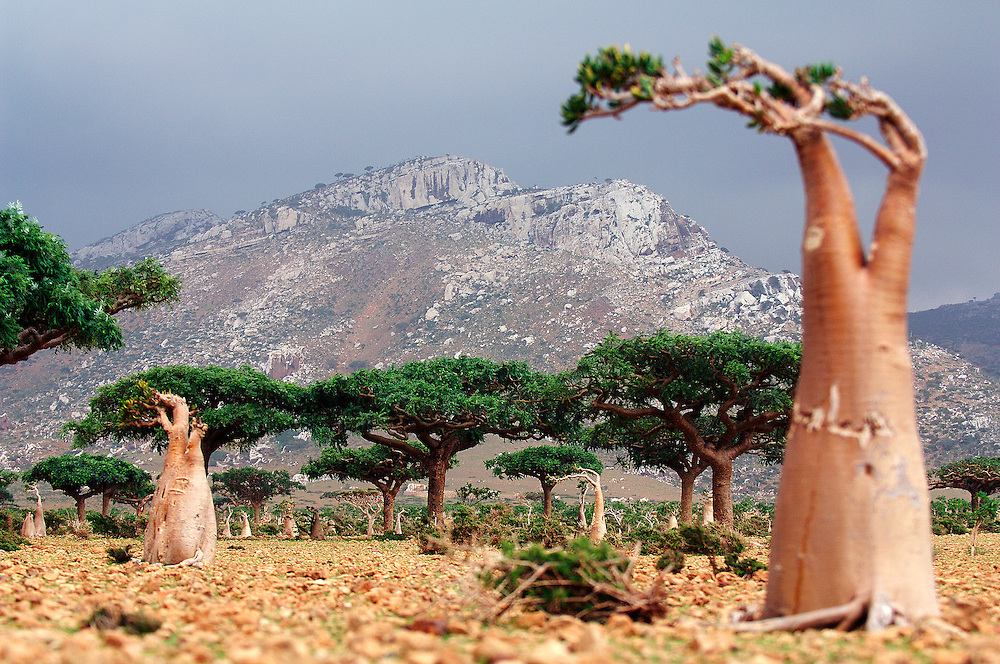 Adenium obesum and native Dragon Tree (Draceana cinnabari) Socotra island, Yemen. Dormant and indecisive, the island of Socotra has floated for millions of years between Africa and the Arabian peninsula. Such isolation makes it the ideal sanctuary for vegetation that has endured since the Tertiary period (65-2 million years ago), and a peaceful refuge for a vibrant aboriginal culture, an island shrouded in mystery and dark secrets.