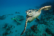 A Hawksbill Sea Turtle, Eretmochelys imbricata, foreground, and a Loggerhead Sea Turtle, Caretta caretta, background, swim side by side on a coral reef offshore Jupiter, Florida, United States.