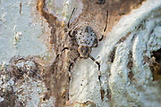 Female of the ornamental tree trunk spider (Herennia multipuncta). Danum Valley, Sabah, Borneo.