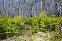 Burned Forest Re-growth, Kootenay National Park, B.C., Canada
