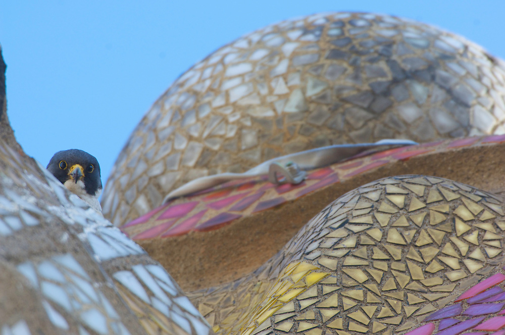Peregrine falcon (Falco peregrinus) in Barcelona, Spain, nesting on the Cathedral of Gaudi the Sagrada familia.