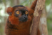 red ruffed lemur (Varecia rubra). Photographed in Madagascar