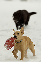 Future Guide Dog, 6-month-old Labrador Terri, plays in Corsham Park during a break in her training, following heavy overnight snow in north Wiltshire, Corsham, UK, January 18 2013. Photo by Mark Chappell / i-Images.