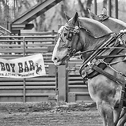 "A team of horses in the ""Heavies"" class of horse-pulling at a contest in Afton, WY."