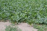 Beet, field, root, crop