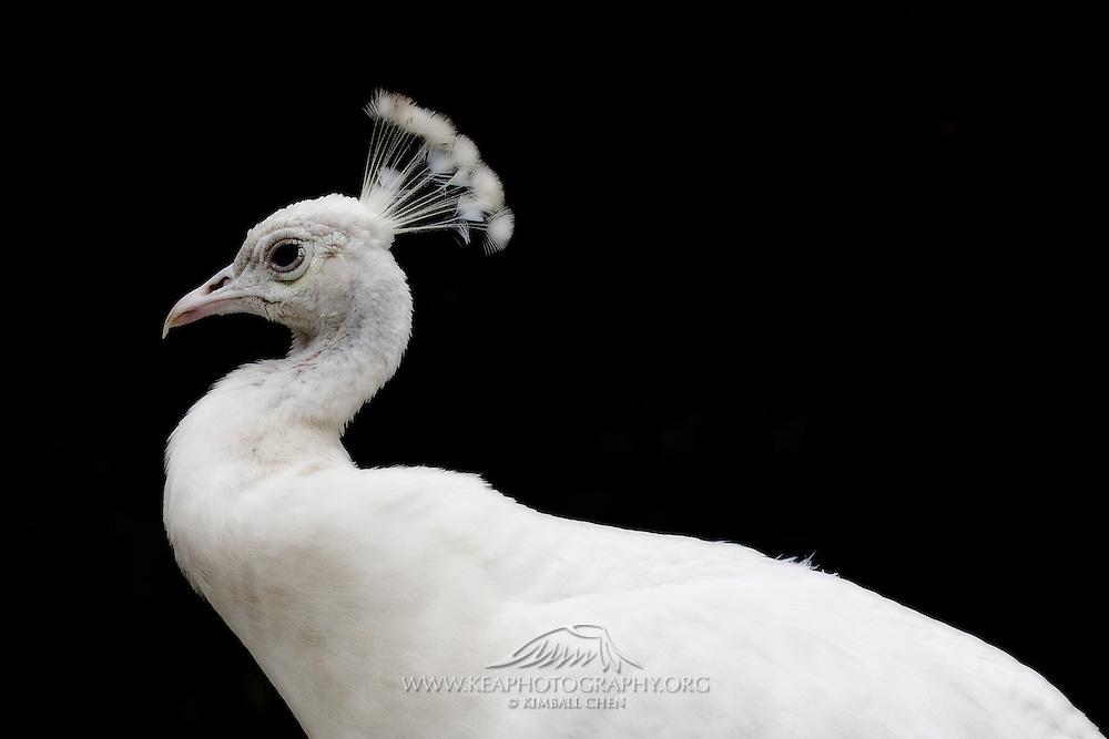 Albino Peacock Portrait