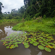 Cocho Lobo, an oxbow lake in the Los Amigos Conservation Concession run by the Amazon Conservation Association and the Asociación para la Conservación de la Cuenca Amazónica. The concession is on the Rio Madre de Dios and the Rio Los Amigos. It protects lowland rainforest in the Los Amigos - Tambopata Conservation Corridor and has a biological research station called CICRA.