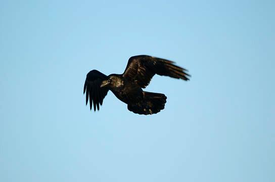 Common Raven (Corvus corax) in flight near Cape Churchill, Churchill, Manitoba, Canada
