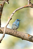 Male Mountain Bluebird perched in a branch of an Aspen tree where it has a nesting cavity.