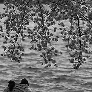 Two girls gaze over Tidal Basin beneath a grove of cherry blossoms on a Spring morning in Washington, D.C.