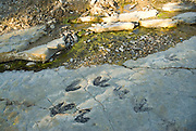 Footprint of a biped Theropoda dinosaur in Fuentesalvo near Villar del Rio Soria Province Spain