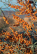 Sea-buckthorn Hippophae rhamnoides (Eleagnaceae) HEIGHT to 11m. Multi-stemmed shrub or suckering small tree. BARK Fissured, peeling; thorny twigs covered with silvery scales that rub off. LEAVES To 6cm long and 1cm wide, with silvery scales. REPRODUCTIVE PARTS Flowers, to 3mm across, lack petals, open in March or April. Male and female flowers on different trees. Fruits are bright orange berries, up to 8mm long. STATUS AND DISTRIBUTION Native of Europe, including coastal E England; planted elsewhere to stabilise dunes, also inland for ornament.