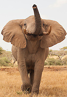 A bull elephant approached me at Ol Donyo Lodge, Chyulu Hills National Park, Kenya.