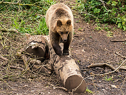 © Licensed to London News Pictures; 17/06/2020; Bristol, UK. **Embargoed until 00.01am Thursday June 18, 2020**. Wild Place Project. Four European brown bears and five grey wolves have begun living side by side together for the first time in a UK Zoo as it prepares to re-open tomorrow (Friday June 19) after coronavirus lockdown. The four bears and the five wolves were given access to the same woodland exhibit at Wild Place Project recently. After some initial curiosity and playful chasing, the two species were soon quietly sharing the same space beneath the trees of Bear Wood as they would have done in this country thousands of years ago. Wild Place Project is preparing to reopen after an 13-week closure due to the COVID-19 pandemic. Photo credit: Simon Chapman/LNP.