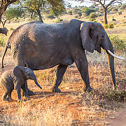 Bush elephant mother and baby walk side by side